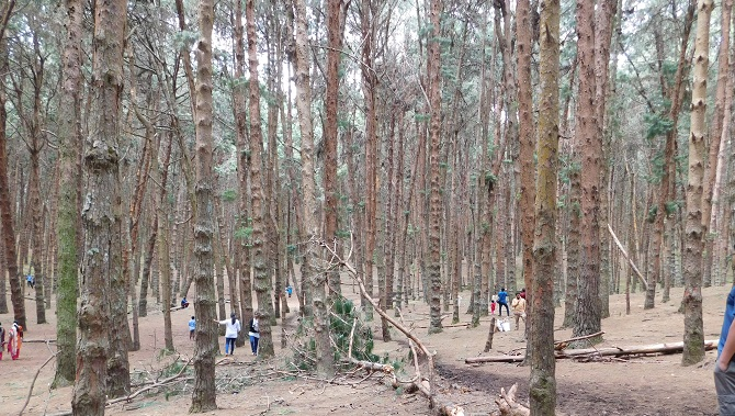 pine forest 2